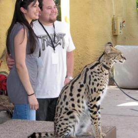 Serval posing for photos with guests