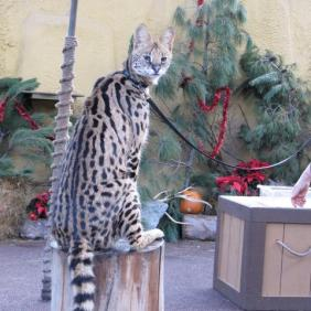 Serval on a sit-stay