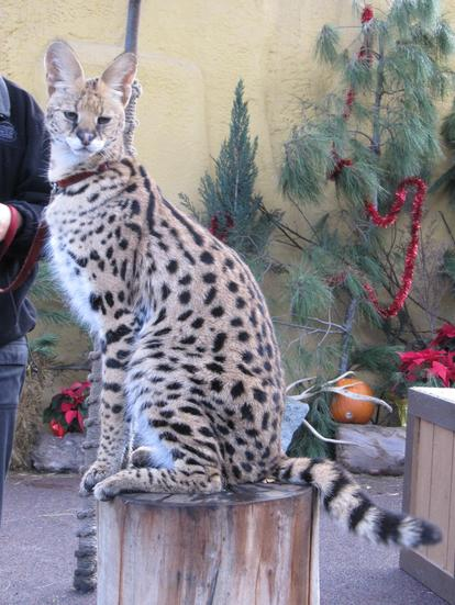Serval posing