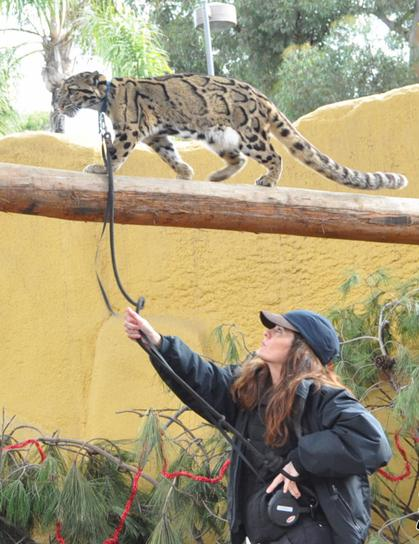 Adult female clouded leopard showing arboreal skills.