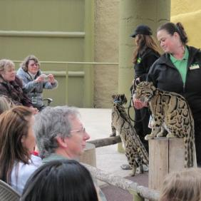 Adult female clouded leopards; the one on the stump is licking a frozen chickensicle.