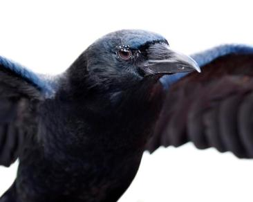 Crow - Jeckle